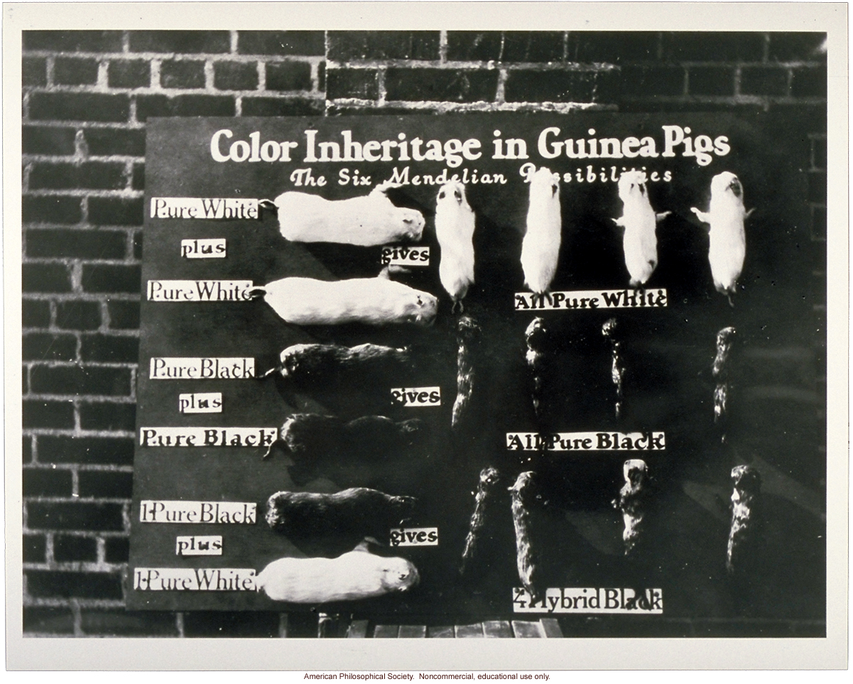 Exhibit, &quote;Color Inheritance in Guinea Pigs&quote; (Mendelian pattern)