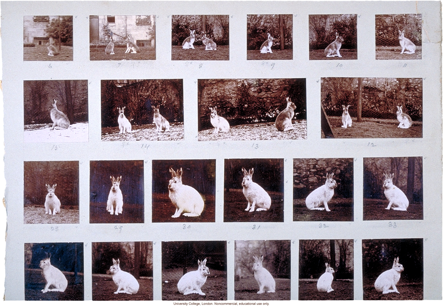 Albino hares, for publication in &quote;Albinism in Man,&quote; by K. Pearson, E. Nettleship, and C.H. Usher (1911)