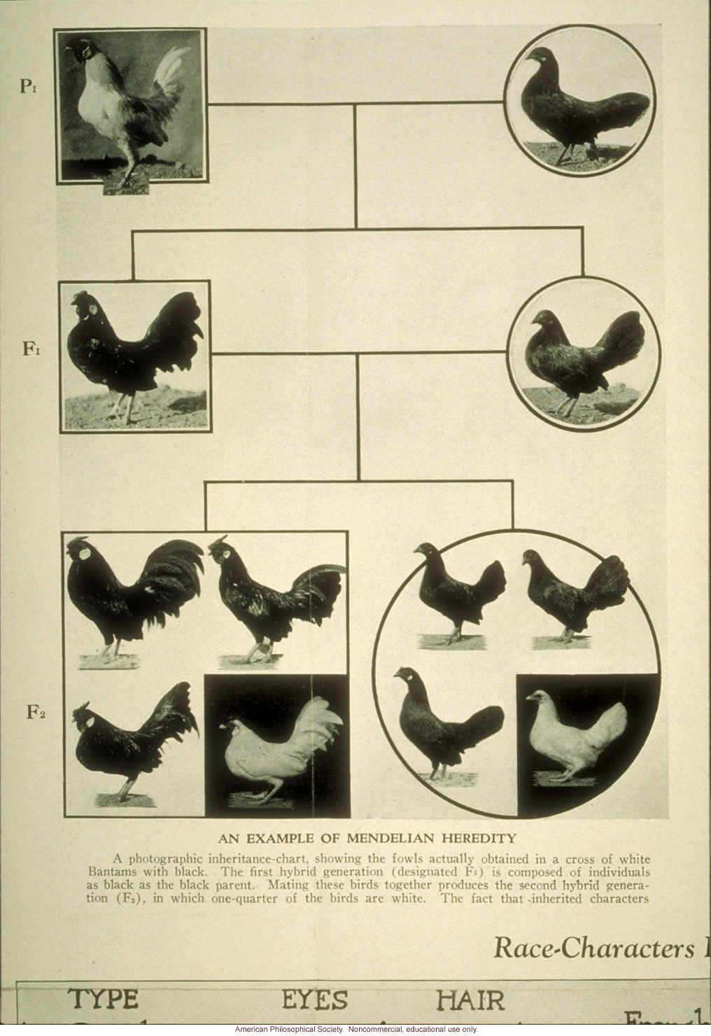 &quote;An example of Mendelian heredity,&quote; chicken breeding
