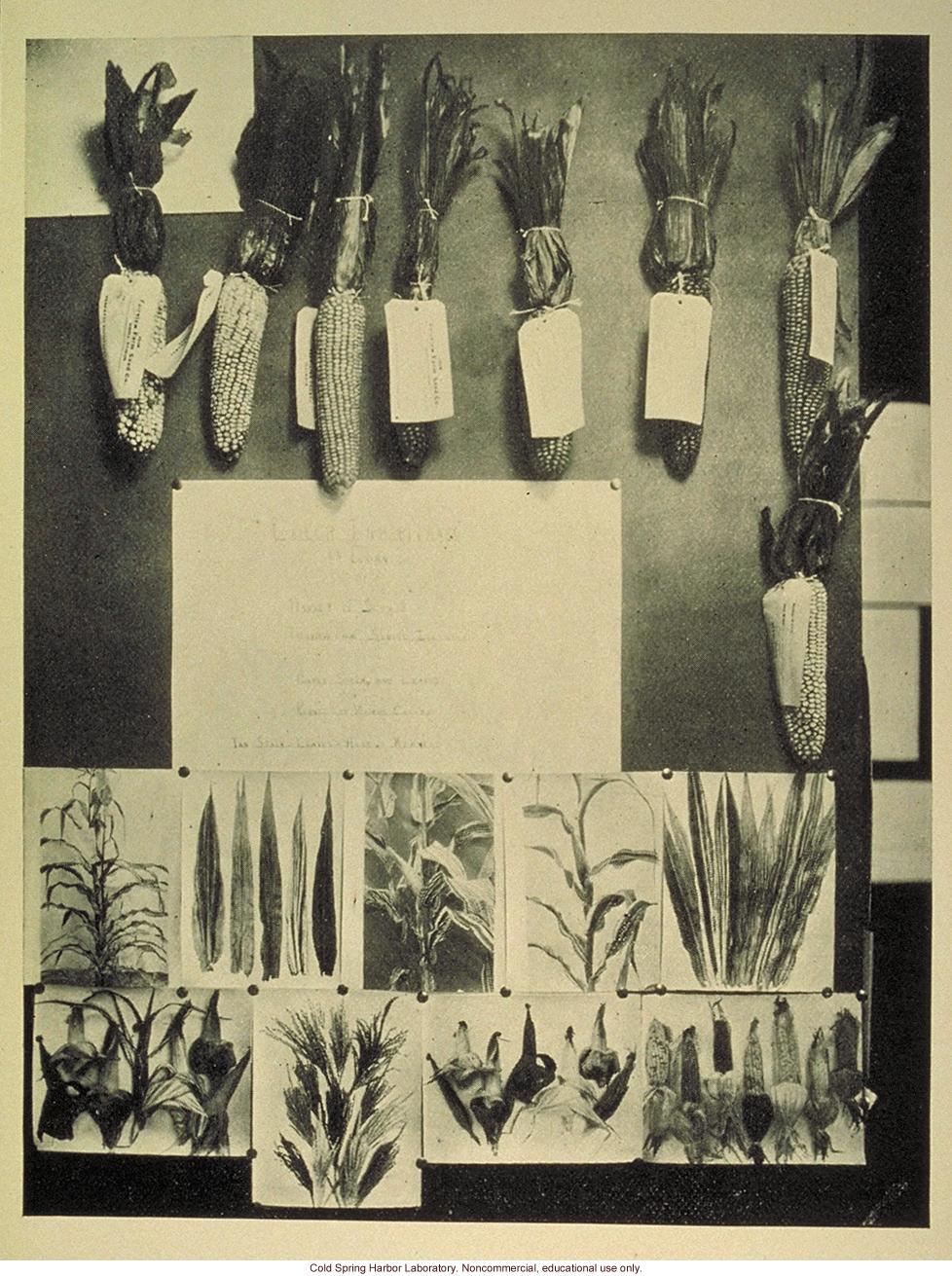 Color inheritance in Indian corn