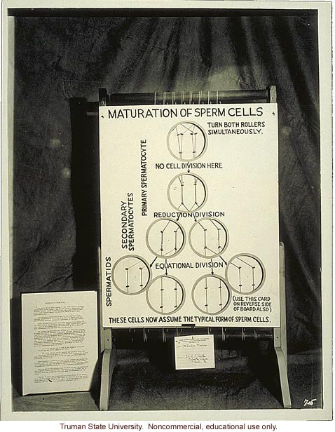 &quote;Maturation of sperm cells,&quote; 3rd International Eugenics Conference