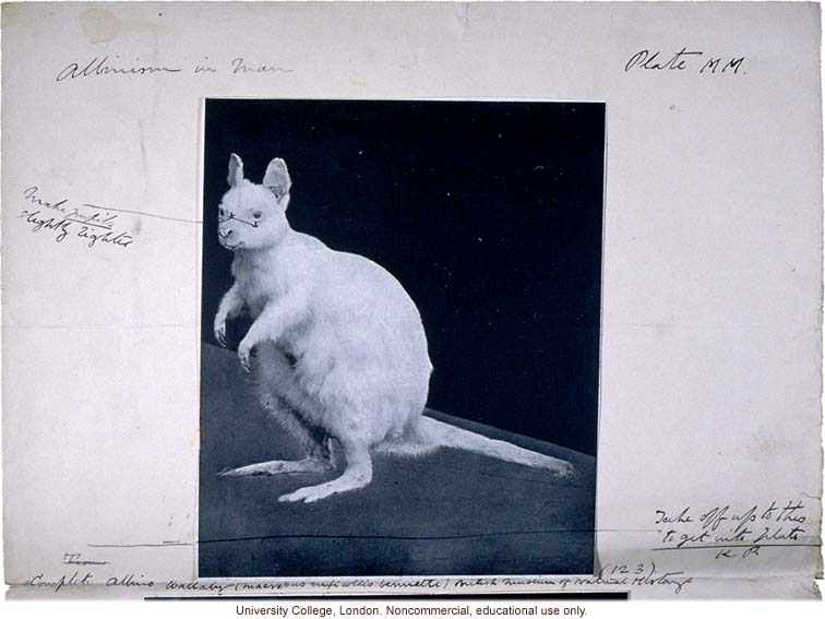Albino wallaby, with Karl Pearson's handwritten captions and instructions for publication in &quote;Albinism in Man&quote; (1913)