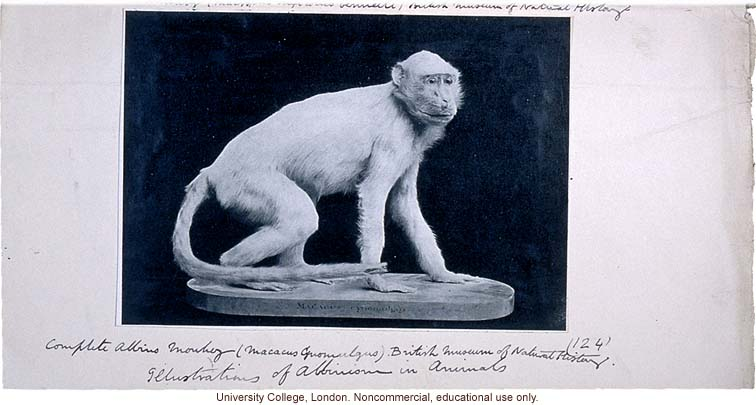 Albino monkey, with Karl Pearson's handwritten captions and instructions for publication in &quote;Albinism in Man&quote; (1911)